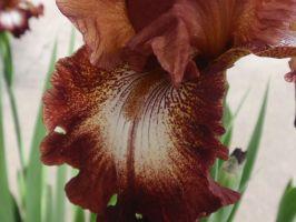 Rusty Red Iris 3 by DreamsWithinMe
