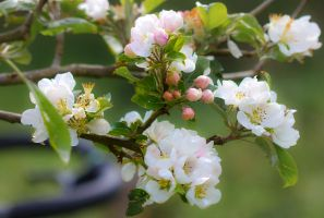 Apple Blossom by cprmay