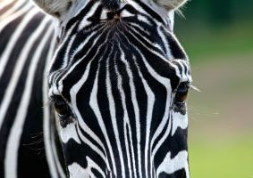 Zebra Eyes by PenguinPhotography