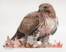 Redtail Hawk by mclanesmemories