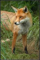 Red Fox by nitsch