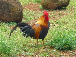 The Rooster by Alcina-von-Yume