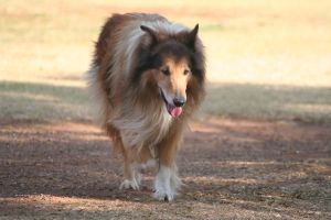 Sunset Collie Three by CarissaGagashi