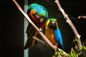 Parrots by Ylliny