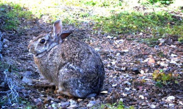 Neighborhood Cottontail 2 by Magick205