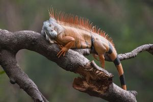 Resting Iguana by secondclaw