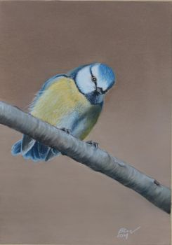 Blue tit by riksons
