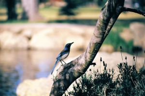 Blue Jay by OneofakindKnight