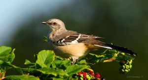 sunlit Mocking bird by natureguy