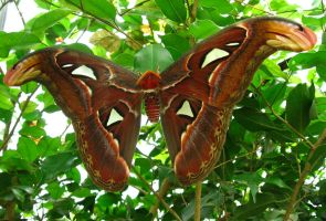 Atlas moth by jedediah667