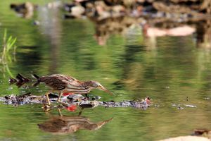 bittern by PeacePhotoMan