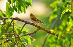 A Finch on a branch by Zaratra