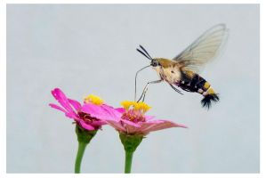 Hummingbird Moth by kiew1