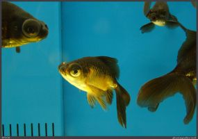 Fish Stock 0077 by phantompanther-stock