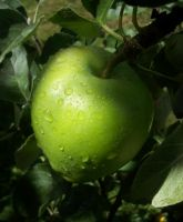 Green apple by Dominicca
