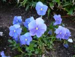 Blue Pansy Flower Garden by Enchantedgal-Stock