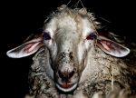 Psycho sheep by vsagnot