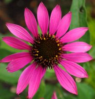 Beautiful Pink by Forestina-Fotos