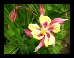 Pink and Yellow Columbine by aelthwyn