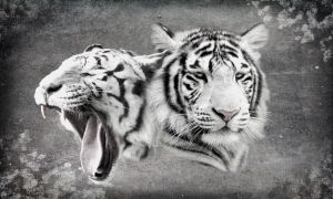 Black and white 1 :  Tigers by Ikke46