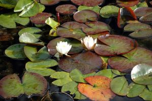 Lilly Pad I by Beef-Stock