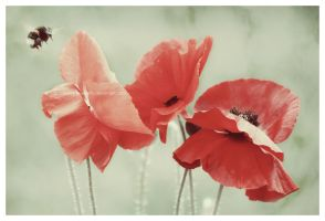 Three poppies and a  bee by UnrehearsedSplendour