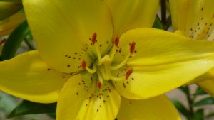 Yellow Lily 1 by FallenAngel1059