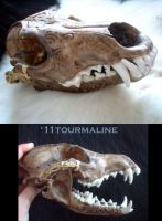 Tribal skull -- coyote by tourmaline-83