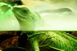 Chinese Water Dragon by Ashenden