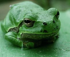 tree frog 2 by kingdaughter