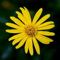 Yellow Flower by AfterDeath