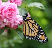 Monarch - Just hatched by jinxedbyemily