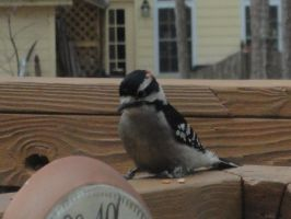 Downy Woodpecker by watercolos