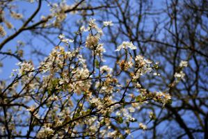 blossom. by jashxxx