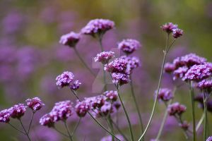 sweet purple flowers by photographybypixie