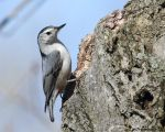 Whitebreasted nuthatch nesting  4 by natureguy