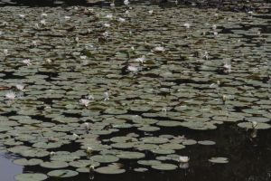 Water Lillies by jswis