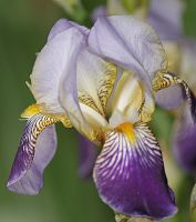 iris purple by marob0501