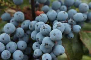 Berries In Blue by wuestenbrand