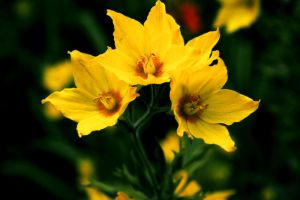 yellow flowers :D by ToxicChick
