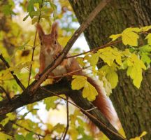 Squirrels VII by starykocur