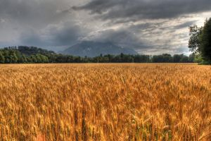 Corn And Dark Sky by Burtn