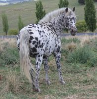Leopard Appaloosa 17 by How-You-Remind-Me