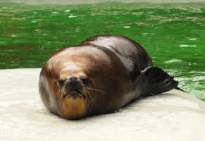 Sea lion slideout by Shadow-and-Flame-86