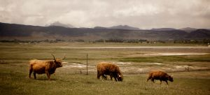 Highland Cattle by Minko6