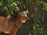 Maned Wolf portrait by photographyflower