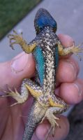Blue Bellied Lizard with yellow Legs by ThePoisonSword
