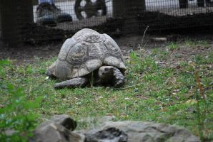 spur-thighed tortoise 1.1 by meihua-stock