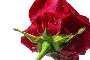 G92 0841 Rose Diagonal by Partists