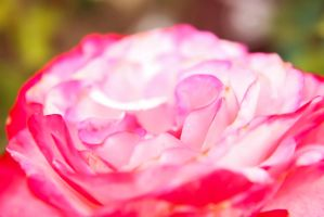 White Rose with Pink Tips by bobtheenchantedone